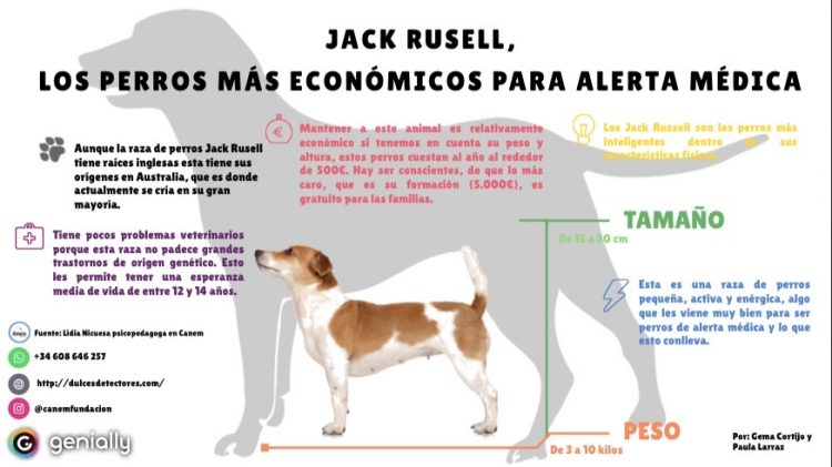 Las diferentes características que convierten la raza Jack Russell en una buena opción para ser perro de alerta médica.